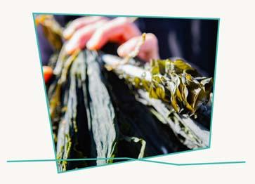 Algues en feuilles